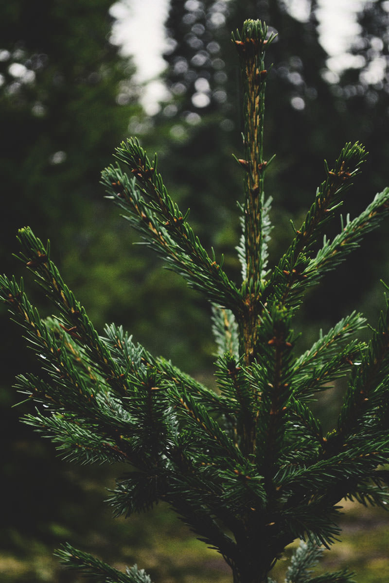 BH-Home-Norway-Spruce